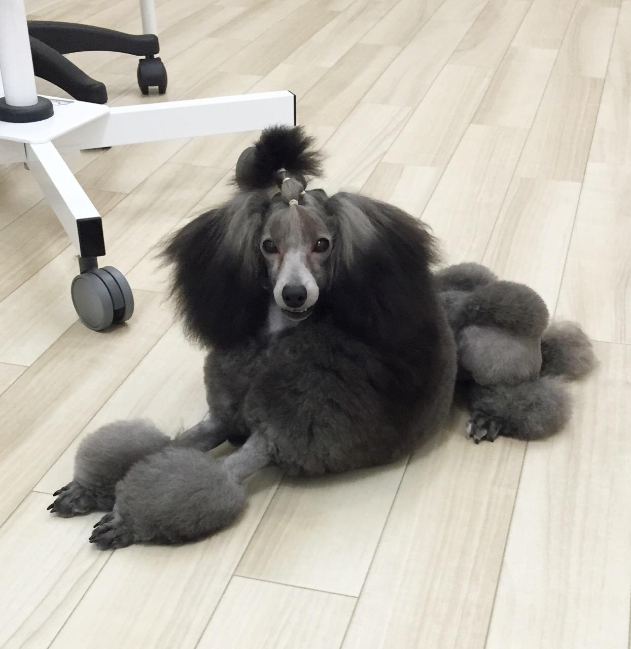 aprico toutouの看板犬 あずきちゃん